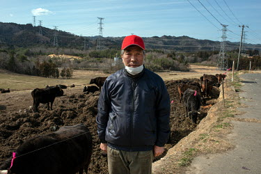 Cattle belonging to farmer Masami Yoshizawa graze on fodder in fields. They have been there since the nuclear disaster and are contaminated so cannot be eaten. The authorities ordered Mr Yoshizawa to...