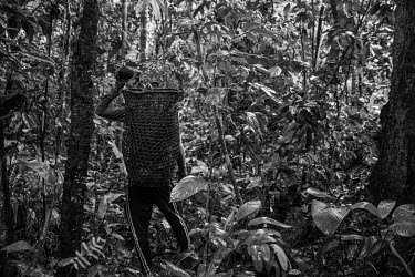 Jasson Oliveira do Nascimento harvests Brazil nuts on the Antimary Agroextractivist Project (PAE) in the south of Amazonas state. This area is being invaded by land grabbers who are deforesting the ju...