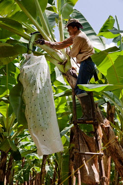 A worker harvests bananas at Foncho's finca, a plantation producing Fair Trade bananas.