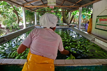 Female workers washing bananas at Foncho's finca, a plantation producing Fair Trade bananas.