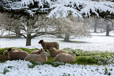 Sheep shelter under the trees against the spring snow that has fallen in Kirtlington Park.