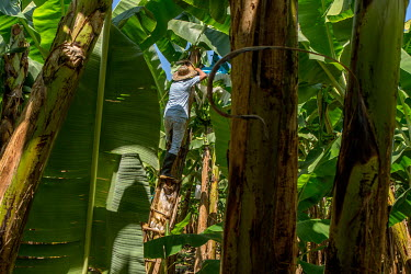 Foncho, a Fair Trade banana grower, harvesting crops on his plantation Rio Frio.