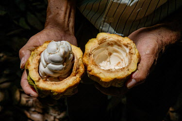 Cocoa bean pods harvested from the Fair Trade farm.