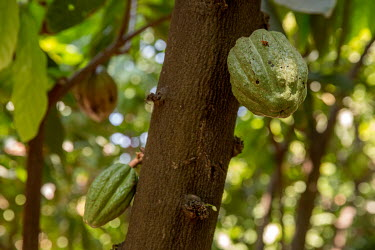Cocoa bean pods growing on a Fair Trade farm.