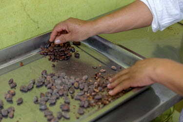 Cocoa beans after being roasted on a gas hob at the Association M. E. Palo Blanco (women's cocoa group).