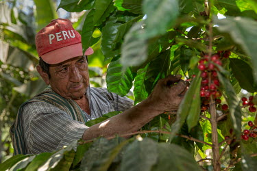 Claudio Morales Machado picking coffee cherries from his small scale farm where he grows Fair Trade coffee.