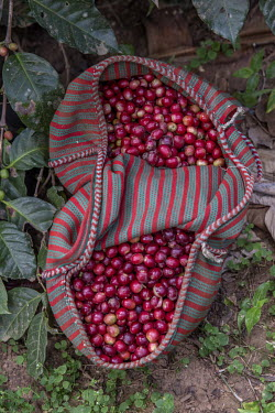 A sack of coffee cherries harvested from the field where Felicita Castilla grows Fair Trade coffee.