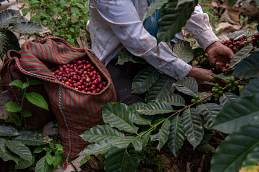 Felicita Castilla harvesting coffee cherries from the field where she grows Fair Trade coffee.