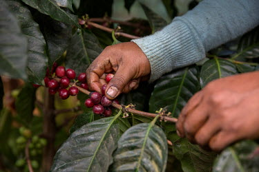 A woman harvesting coffee cherries from Felicita Castilla's field where she grows Fair Trade coffee.