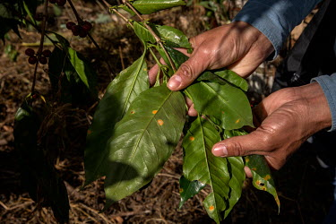 A discoloured coffee bush leaf is checked by a worker at a plantation.