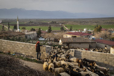 Shepherd Mehmet Dinler and his two sons herd their flock of sheep back into their enclosure at the end of the day.