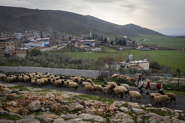Shepherd Bayram Inanc herds his flock of sheep and goats back home towards the village of Incirli at the end of the day.