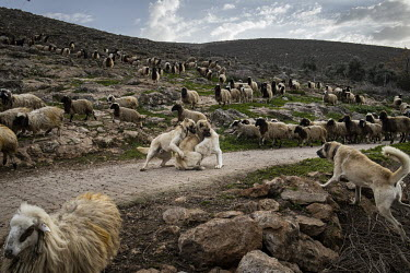 A group of Anatolian 'Kangal' shepherd dogs fight with each other as two separate flocks of sheep return to the village of Incirli at the end of the day.