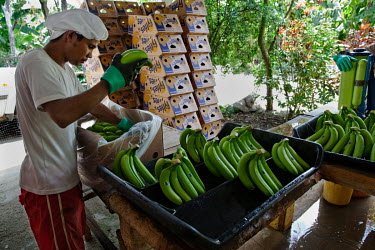 Bananas being packaged at Foncho's finca, a plantation producing Fair Trade bananas.