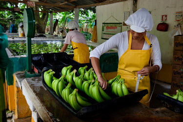 A worker applies a Fair Trade sticker to bananas grown on the Foncho's finca plantation.