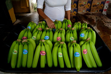 A worker applies stickers bearing the slogan 'Stick with Foncho to abolish unfair bananas' to fruits grown at Foncho's finca, a plantation where they produce Fair Trade bananas for export to the Unite...