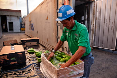 A worker packing unripe Fair Trade bananas into a box ready to be shipped off from Santa Marta's port.