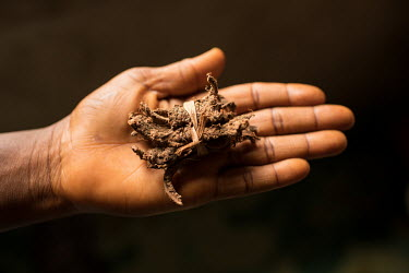 Shashabi (as it is called in the Gbagyi language) is a root. It is used to help women get pregnant by the Dr Amina Aliyu Shekwonya Herbal Centre.