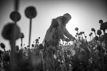 A farmer scores opium poppy heads in a field close to the city of Kandahar.