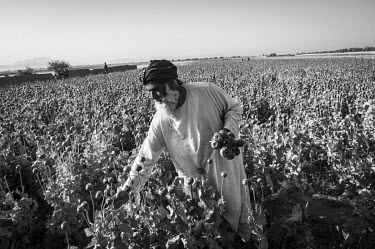 A farmer removes opium poppy heads that no longer contain sap in a field close to the city of Kandahar.