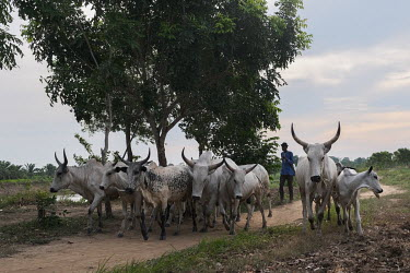 Cattle being herded along a path near Dekanme. Competing demands for grazing and agricultural land are a constant source of conflict in Benin, as in much of West Africa. In combination with burgeoning...