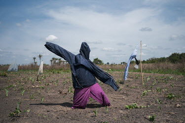 Scarecrows protect seedlings in a deforested stretch of land in the Oueme River valley. Over 90 percent of the nation's households are dependent on wood or charcoal for cooking. Together with one of t...
