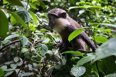 A juvenile red-bellied monkey, also known as the white-throated guenon or red-bellied guenon, at a forest sanctuary created by Peter Neuenschwander in Drabo Gbo. Once thought to have been hunted to ex...