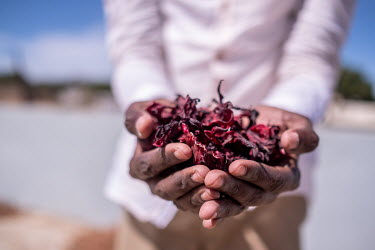 A man holds a handful of dried hibiscus flowers which are used to make one of the country's national drinks, bissap.