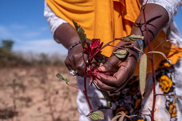 Aissatou Ndoye harvests hibiscus flowers on her farm near Thies. The flowers will be dried and used to make bissap, one of the country's most popular drinks.