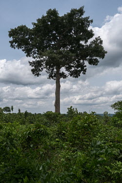 A lone Kapok tree (Ceiba petandra) on the edge of a sacred forest grove in the village of Agonme. Often only trees with spiritual significance are left standing, while the forest that once surrounded...