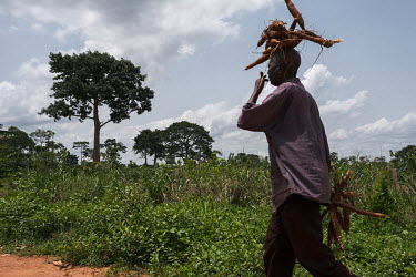 Rigobert Dossou, who estimates his age at 60, carrying cassava tubers on the edge of a degraded sacred forest grove in the village of Agonme. The grove is now being protected following a Forestry Insp...