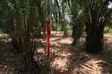 A strip of red cloth signifies that the owner of a grove of oil palm trees has protected them with curses, and that misfortune will befall would-be thieves or trespassers. The belief in witchcraft and...