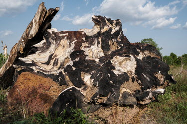 The remains of a burnt tree stump on land being cleared for agriculture near Bassila. Over 90 percent of the nation's households are dependent on wood or charcoal for cooking. Together with one of the...