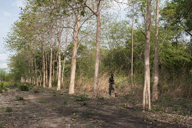 Yaya Chabi Ota, an eco-guard, walking the boundary of a sacred forest in Kikele. The forest is home to approximately 30 white-thighed colobus monkeys (Colobus vellerosus), one of the last remaining po...