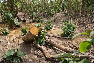 A felled teak tree on the edge of a sacred forest in Kikele. The forest is home to approximately 30 white-thighed colobus monkeys (Colobus vellerosus), one of the last remaining populations of the cri...