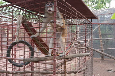 ATO Primate Sanctuary rescues primates, many of which are orphans whose parents were killed by hunters and poachers. The combination of habitat loss through deforestation and hunting is having a sever...