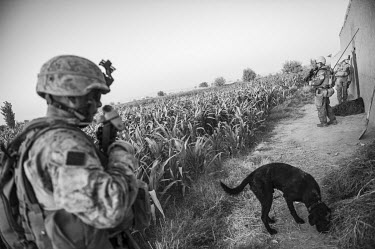 US Marines conduct a patrol along the edge of a field of maize crops.
