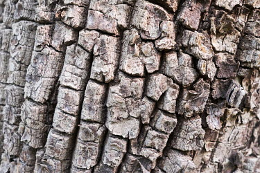 The heavily-textured bark of a tree trunk in the Tobe protected forest. Some 350 hectares in area, the forest had been severely degraded by agriculture. Over the last 35 years it has been restored tha...
