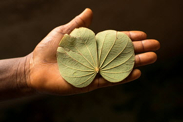 Tawinyi (as it is called in the Gbagyi language) is a leaf. It is used for 'night people' (those affected by witchcraft) by the Dr Amina Aliyu Shekwonya Herbal Centre.