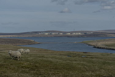 Sheep graze on a hill with the Sullom Voe oil terminal in the background. In 2020 the Shetland council voted to look at ways of obtaining financial and political independence from Scotland. Shetland a...