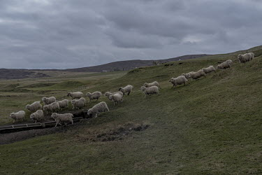Sheep run down a hillside at feeding time.
