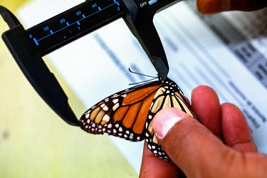 Viana Scarlett Sanchez Arias from WWF measures a live monarch butterfly caught in order to study them at WWF headquarters. After they are examined they will be released back into the wild. These sampl...