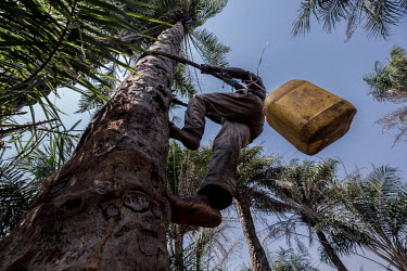 Tamba Conteh, a veteran palm wine tapper, climbs a palm tree outside Freetown. Conteh hails from the Limba ethnic group, who have dominated the palm wine industry for hundreds of years. The sap from t...