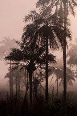 Sunrise over a misty grove of palm trees in the interior of Sierra Leone. The trees produce a mildly alcoholic sap known as palm wine, or 'poyo', a popular drink throughout West Africa. In Sierra Leon...