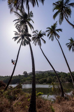 Palm wine tapper Samson Turay climbs up a palm tree near Bureh. The job of climbing palm trees to collect the precious sap traditionally falls to members of the Limba ethnic group.