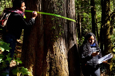 Mayra Alsi Mendoza Perez and Maltin Cruz Peina, from WWF, measure the area of a monarch butterfly colony by measuring the distance between the trees that surround the colony.