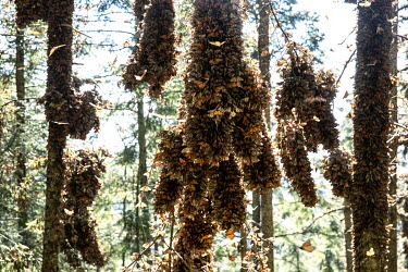 Trees covered with millions of monarch butterflies.