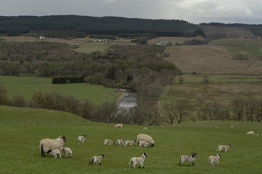 Sheep and lambs in a field on the Scottish/English border which runs through the middle of the river in the background.