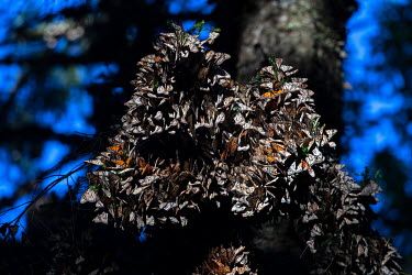 Every year, from January to the end of March, millions of monarch butterflies make a 4000 kilometre migration to breed in El Rosario where the world's largest colony of monarch butterflies are found....