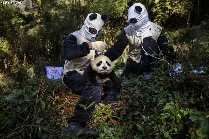 Panda Pampering